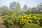 Large mounds of Buxus sempervirens, Tulipa 'Ballerina', euphorbia, rose foliage