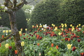 Border of colourful tulips, Tulipa 'Ballerina', 'World Friendship' and 'Abu Hassan'