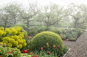 Large mounds of Buxus sempervirens, Tulipa 'Ballerina' and 'Abu Hassan', euphorbia, apple trees in mist