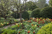 Border of colourful tulips, Tulipa 'Ballerina', 'World Friendship' and 'Abu Hassan', gravel path, yew hedge