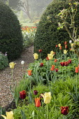 Border of colourful tulips, Tulipa 'Ballerina', 'World Friendship' and 'Abu Hassan', gravel path through yew hedge