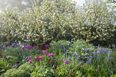 Apple trees underplanted with tulips, Camassia leichtlinii, Lamprocapnos spectabilis 'Alba'