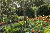 Border of colourful tulips, Tulipa 'Ballerina' and 'Abu Hassan', gravel path, yew hedge
