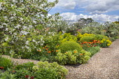 Apple trees underplanted with hellebores, Tulipa 'Ballerina' and 'Abu Hassan', Buxus sempervirens