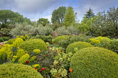 Large mounds of Buxus sempervirens, Tulipa 'Ballerina', euphorbia, hellebores, rose foliage
