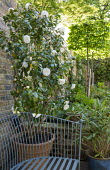 Formal double Camellia japonica 'Primavera' in container, metal bench