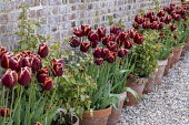 Tulipa 'Abu Hassan' in row of terracotta pots