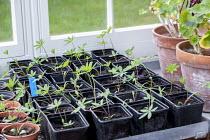 Lupin seedlings in pots on greenhouse shelf
