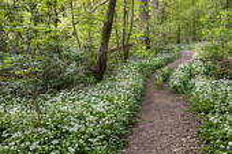 Path through Allium ursinum in woodland
