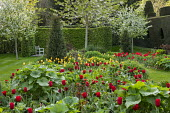 Spring border with tulips, Tulipa 'Apeldoorn' and 'Golden Apeldoorn'