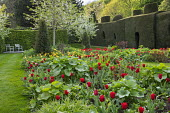 Spring border with tulips, Tulipa 'Apeldoorn' and 'Golden Apeldoorn', clipped yew hedge