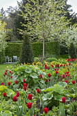 Spring border with tulips, Tulipa 'Apeldoorn' and 'Golden Apeldoorn', hollyhock foliage, chairs by yew hedge