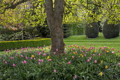 Liriodendron tulipifera underplanted with Tulipa 'Menton'