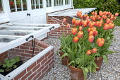 Tulipa 'Menton' in terracotta pots by cold frames