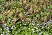 Epimedium × perralchicum 'Fröhnleiten', Galium odoratum