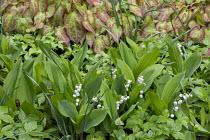 Epimedium × perralchicum 'Fröhnleiten', Convallaria majalis