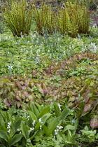 Epimedium × perralchicum 'Fröhnleiten', Convallaria majalis, Matteuccia struthiopteris