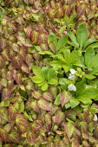 Epimedium × perralchicum 'Fröhnleiten', hellebore leaves