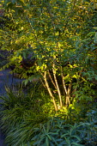 Uplit multi-stemmed shrub underplanted with Hakonechloa macra