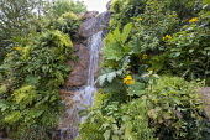 Waterfall over stone wall, Adiantum raddianum 'Fragrantissimum', Adiantum raddianum 'Fragrantissimum', Gunnera manicata, Calceolaria integrifolia, Lophosoria quadripinnata