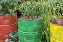 Capsicum annuum in green painted oil drum