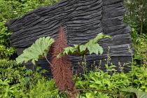 Gunnera killipiana against blackened timber wall, Rodgersia pinnata, Rubus lineatus, Trochodendron aralioides