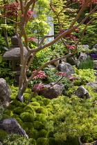 Japanese garden, large rocks, Acer palmatum, Pinus mugo, stone lantern, Iris sibirica 'Tropic Night'