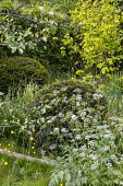 Clipped mounds of Taxus baccata in wild meadow, Anthriscus sylvestris, Ranunculus acris, Corylus avellana 'Aurea'