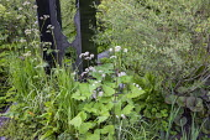 Salix purpurea 'Nancy Saunders', ligularia, Valeriana officinalis