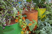 Solanum melongena 'Purple Ball' and nasturtium in large painted recycled oil drum container