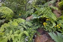 Rock garden, Lophosoria quadripinnata, Mimulus guttatus, Jovellana violacea