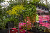 Humulus lupulus climbing through railings, Isatis tinctoria, horticultural laboratory with artificial lighting beneath kitchen garden terrace