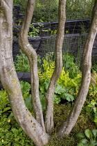 Stems of Carpinus betulus underplanted with Muehlenbeckia axillaris, Osmunda regalis, Darmera peltata, Equisetum hyemale