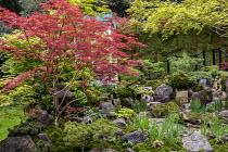 Japanese garden, large rocks, Acer palmatum, Pinus mugo, pond, moss, Iris sibirica 'Tropic Night'