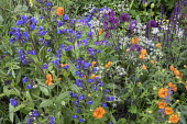 Anchusa azurea 'Loddon Royalist', Anthriscus sylvestris 'Ravenswing', geum, alliums
