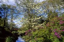 View towards lake, Cherry blossom, azaleas