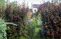 View through copper beech hedge to house, Campanula latifolia