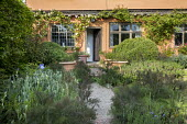 Large Buxus sempervirens mounds by orange painted house, rose climbing on wall, fennel, nepeta, large terracotta pots