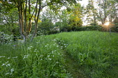 Wooden bench in long grass meadow with Anthriscus sylvestris, mown path