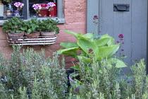Hosta in pot, pelargoniums in windowbox, rosemary