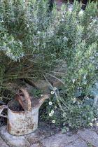 Rosemary, watering can, Erigeron karvinskianus