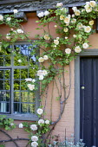 Rose climbing around window on house wall