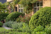 Large mound of Buxus sempervirens, nepeta edging, roses climbing on house wall