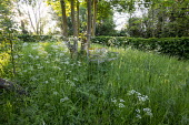 Rustic wooden bench in wildflower meadow under maple tree, Anthriscus sylvestris