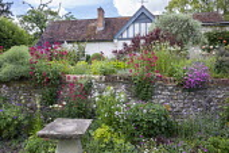 Cottage garden, stone wall, Centranthus ruber, Alchemilla mollis, Leucanthemum vulgare, Lunaria rediviva