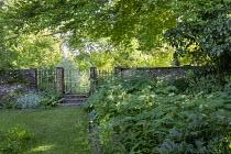 Myrrhis odorata in shady border under tree, white metal gate