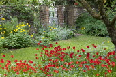 Tulipa sprengeri naturalised under apple tree, white painted gate, Meconopsis cambrica