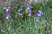 Irises underplanted with alliums, Centranthus ruber