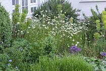 Leucanthemum vulgare and euphorbia in border, geraniums, lavender, alliums