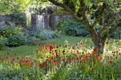 Tulipa sprengeri naturalised under apple tree, Meconopsis cambrica